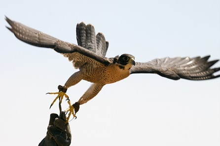 Extended Falconry