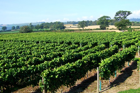 Deluxe Vineyard Tour and Wine Tasting for Two at Kerry Vale Vineyard