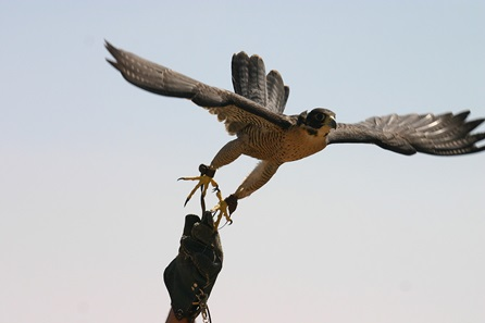 Introductory Falconry