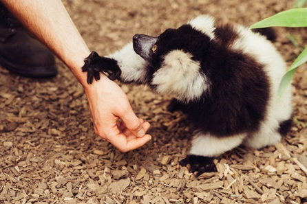 Up-Close Lemur Encounter for Two at Woburn Safari Park