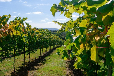 Vineyard Tour, Wine Tasting and Afternoon Tea for Two at Bolney Wine Estate