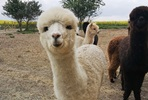 Alpaca Trekking and Entry to Eagle Heights Wildlife Foundation for Two